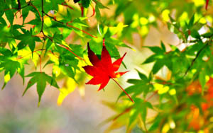 one red maple leaf surrounded by green and yellow maple leaves